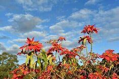 "16""x12"" (41x30cm) Printed Photo of red flowers on stormy sky west Australian   eBay Australian Aboriginals, Photo Postcards, Western Australia, Nature Photos, Red Flowers, Family Portraits, Wedding Bride, Vintage Photos, Sky"