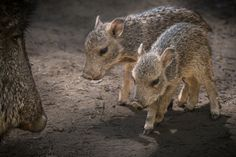 Chacoan peccary piglets born at Los Angeles Zoo.