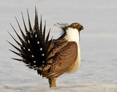 Sage Grouse.  Oh, the things you learn on pinterest every day!