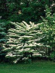 Viburnum plicatum 'Mariesi' -Redős levelű bangita  1,5-2 méter magas, lombhullató cserje, közel vízszintes ágrendszerrel. Levelei szélesek, ősszel vörösre színeződnek. Fehér virágai 20 cm széles bogernyőkben a nyár elején nyílnak.  2 literes konténerben  20-30 cm méretben   850 Ft