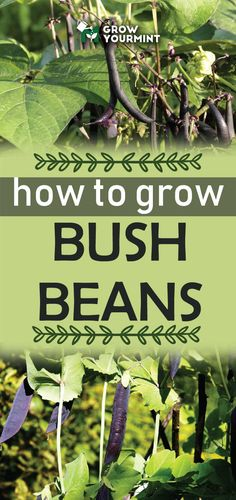 How to grow bush beans - the protein rich sources we all need. #healthy #gardening #garden #growyourmint #bushbeans #beans #protein #healthy