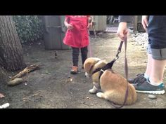 Kirby the Corgi meets a fellow toddler, cutest video! If this doesn't make you smile and want one of your own, nothing will. Corgi Videos, Corgi Gif, Pin Pics, New Girlfriend, Great Videos, Corgis, Cute Gif, Animals For Kids, Make You Smile