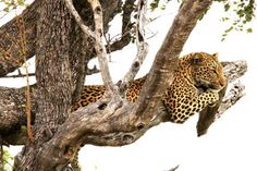 Adult leopards are solitary and territorial and will only associate long enough to mate. Occupation of a territory is advertised by marking with urine and faeces and clawing the bark of tree.