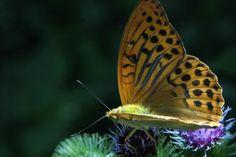 Kaisermantel 3 Schmetterling