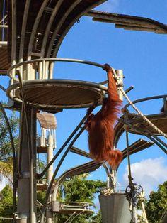 Orangutan Boardwalk, Perth Zoo Stuff To Do, Things To Do, Dad Day, Orangutan, Western Australia, Perth, Places To Go, Birthdays, Bucket