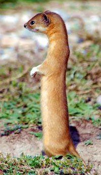 Indonesian Mountain Weasel (Mustela lutreolina) - Java and Sumatra, Indonesia Nature Animals, Animals And Pets, Cute Animals, Wild Animals, Carnivore, Wild Dogs, Woodland Creatures, Belleza Natural, Animals Of The World