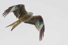 Seeadler – Wild life | Roter Milan über den Breiten Luzin (c) Frank Koebsch