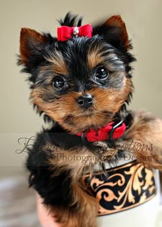Yorkie Puppy Elegant Reflections Photography and Design