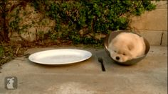 AHHHHH There's a video. Too cute.  Determined Chow Puppy Escapes From A Bowl, Is An Inspiration To Us All
