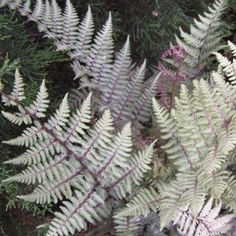 Ferns: Athyrium x 'Ghost' (Hybrid Lady Fern)  This beautiful ghostly silver Lady fern is a hybrid between the Japanese Painted Fern (Athyrium nipponicum 'Pictum') and one of the Lay ferns (Athyrium felix-femina). A compact upright form with vigorous growth characteristics make this a must have fern for the mixed shade garden. Perfect fern for container gardening.
