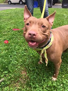 03/24/16--Meet Shay, a Petfinder adoptable Staffordshire Bull Terrier Dog | White Plains, NY | This adorable meatball will completely steal your heart! Whoever meets Shay says she has a fabulous...