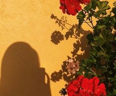 rose yellow wall