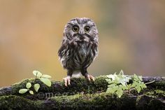 {Northern Saw-Whet Owl} [Mountsberg, Campbellville, Ontario]