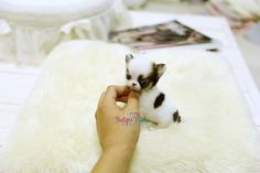 Adorable Amazing Lil Toby Micro Teacup Chihuahua Available!