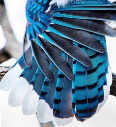 Wings #wings #blue #bluejay #bird #nature #smallbird #brooklyn #ny #nyc #instadaily #instagood #photooftheday