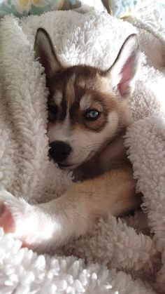 Wonderful All About The Siberian Husky Ideas. Prodigious All About The Siberian Husky Ideas. Cute Husky Puppies, Siberian Husky Puppies, Puppy Husky, Siberian Huskies, Huskies Puppies, Cockapoo Puppies, Husky Mix, Dogs Pitbull, Humorous Animals