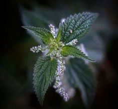 People have known nettle since ancient times when it was used as a healing plant. Nettle tea contains vitamins, tannins, chlorophyll and iron, that normalize the metabolism and lower the … Small Bathroom With Shower, Allergy Symptoms, Medicinal Plants, Home Remedies, Allergies, Healthy Life, Dandelion, The Cure, Home And Garden