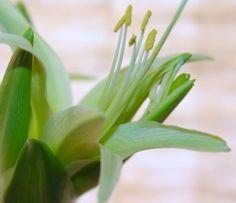 Amaryllis Evergreen - just opening bloom