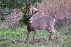 258-iowa-buck-the-franz-buck