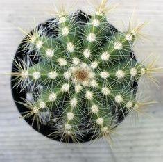 40 Succulent Leaves - Fairyblooms Small Succulents, Planting Succulents, Clothespin Magnets, Cactus Plants, Succulent Plants, Echeveria, Roots, Dandelion, Herbs