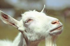 The overly thoughtful goat.