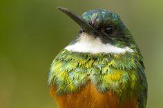 . Rufous-tailed Jacamar close up (Ariramba-de-cauda-ruiva)