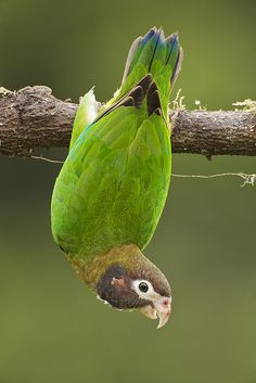 Another wild Brown-hooded Parrot clowning around.