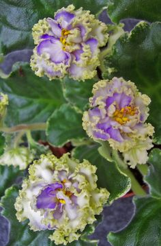 African Violet Harmony's Dancing Fool Pair of Leaves | eBay