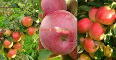 Cum se face altoirea cu ramură detașată, sub scoarța terminală Healthy Fruits, Healthy Recipes, Ale, Paradis, Salvia, Fruit Trees, Grape Vines, Harvest, Organic