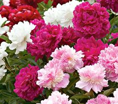 Someday I will have a Peony Garden..................Love Peonies!