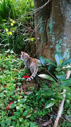 Reginald Flamethrower my half Bengal kitten outside without a harness on for the first time 17th June