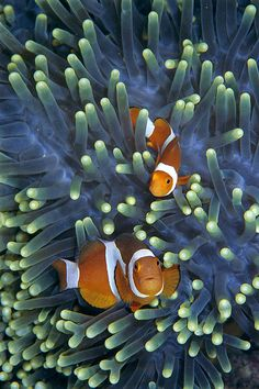 earthlycreatures:  Clown Anemonefish Amphiprion Ocellaris by Hiroya Minakuchi