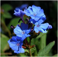 Ceratostigma plumbaginoides Bunge Vascular Plant, Photo Search, Gallery, Projects, Log Projects