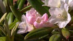 En vacker rododendron