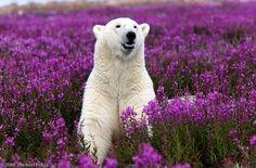 I want to see wild polar bears in Churchill, Manitoba