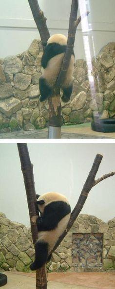 pandaのお昼寝。