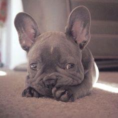 Blue French Bulldog Puppy (scheduled via via @KaufmannsPuppy #Buldog