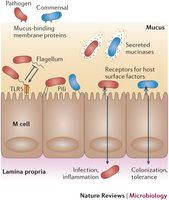 Bacterial access to the epithelium.