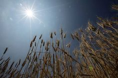 More than 65.5 percent of the nation's wheat is grown in Hokkaido & climate change threatens this supply. It shows the huge ramifications about to hit the World's food supply !