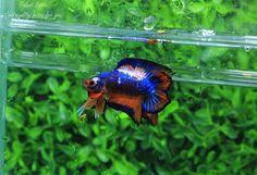 http://www.aquabid.com/cgi-bin/auction/auction.cgi?fwbettasdt&1496410317