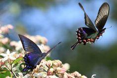 「春 蝶々 飛ぶ姿」の画像検索結果