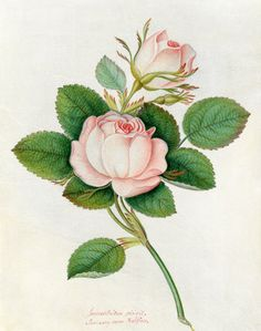 Watercolour on vellum by James Bolton. Creator: Bolton, James (bap.1735, d.1799) (Artist). Date: Circa 1790