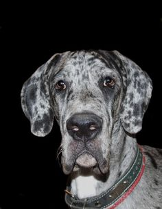 Huge, elegant, sometimes goofy, always eager to please, the Great Dane is a companion dog that's easy to love. But a Dane can also be a challenge to raise, requiring proper care, nutrition, training ...
