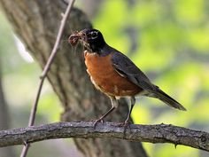 Resources for our Robin's Nest