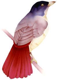 Extinct bird Piopio. In CLOAK OF PROTECTION is eaten by kiore, ship rat, and stoat