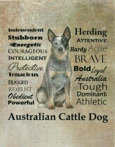Australian Cattle Dog Traits Pillow, x Cushion Australian Cattle Dog, Aussie Cattle Dog, Australian Shepherd, Cattle Dogs, Aussie Dogs, Blue Heelers, Dog Poster, Herding Dogs, Dog Rules