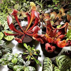 Насекомоядные растения несомненно выделяются на фоне остальных. Predatory Plants from N.America in Japanese Soil-less Pafcal.  Keep those pesky ants and flies away!  Light Requirements: Bright light (eg. next to a window which receives a good amount of daylight). Top-Bottom: Sarracenia (Pitcher Plant) leucophylla Sarracenia Hybrid Dionaea muscipula (Venus flytrap). #predatorplants #carnivorousplants #sarracenia #dionaea #pitcherplant #venusflytrap #vft #soilless #soilfree #pafcal…