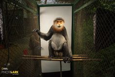 Primates in pictures: US photographer's portraits of endangered species