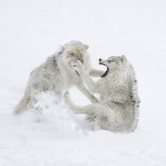 Snow Wolves playfulness sometimes imitates real fighting.