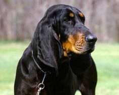 black and tan coonhound photo | The Black and Tan Coonhound is a breed of dog used ... | Dogs: Hounds